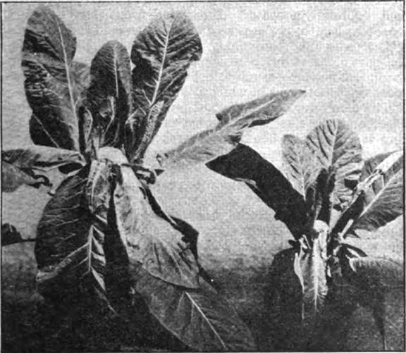 Cauliflower plants grown with fertilized and unfertilized air, showing dramatic improvement from fertilized air