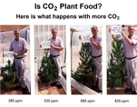 CO2 is plant food, effect on pine saplings